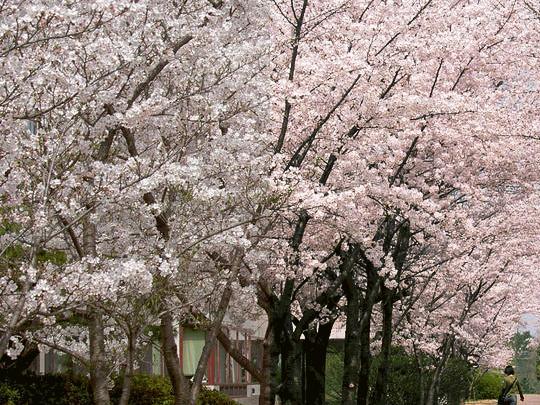左が撮ったまま、右は彩度を上げたもの。あなたの記憶の桜はどっち?